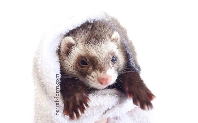 Who said ferrets smell bad? This furry girl smells like roses