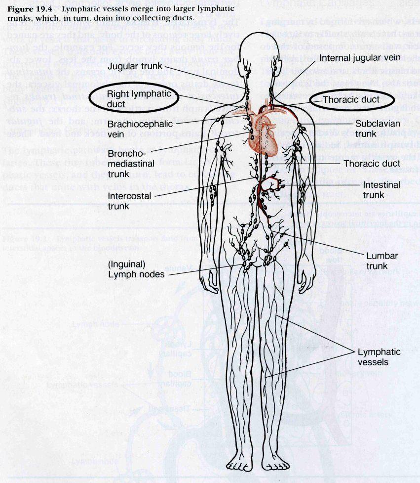 Lymphatic System Lymph Nodes Diagram | ANATOMY | Pinterest | Lymph ...