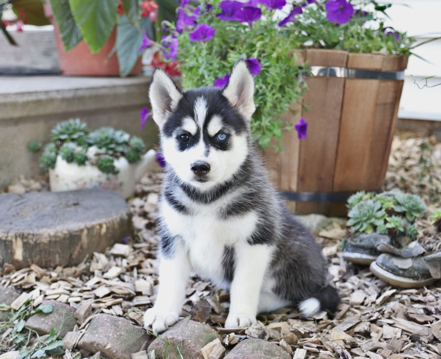 Meet Harmony A Sweet Pomsky Puppy Looking Forward To