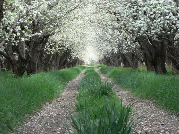 pear-orchard-shiraz, Iran