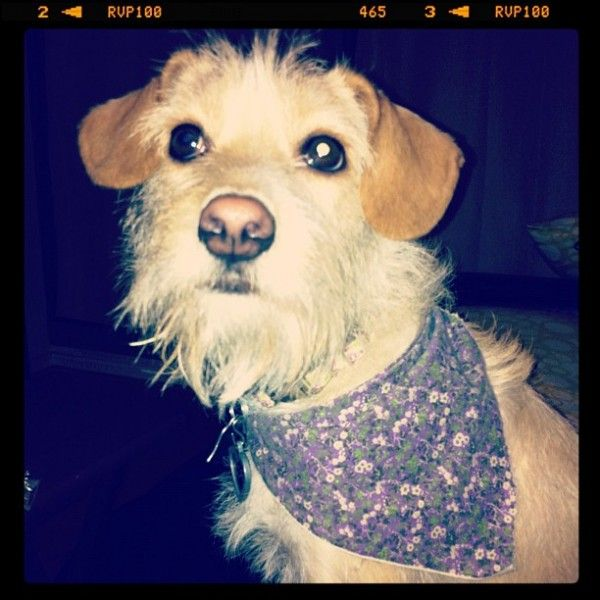 Zoe a border collie, scottish terrier, american