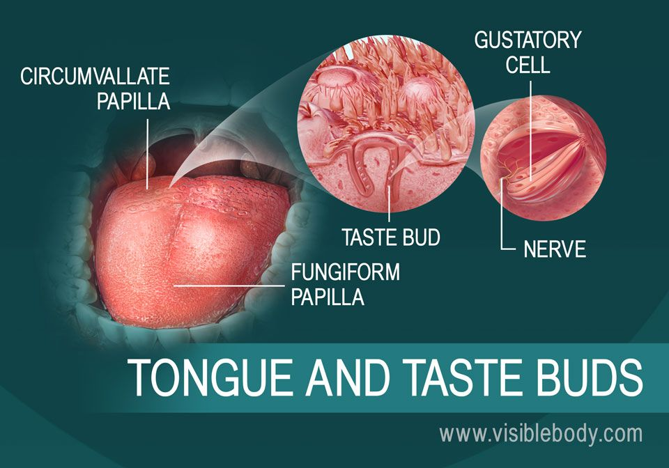 A Diagram Of The Tongue And Taste Buds Conocimiento Biology