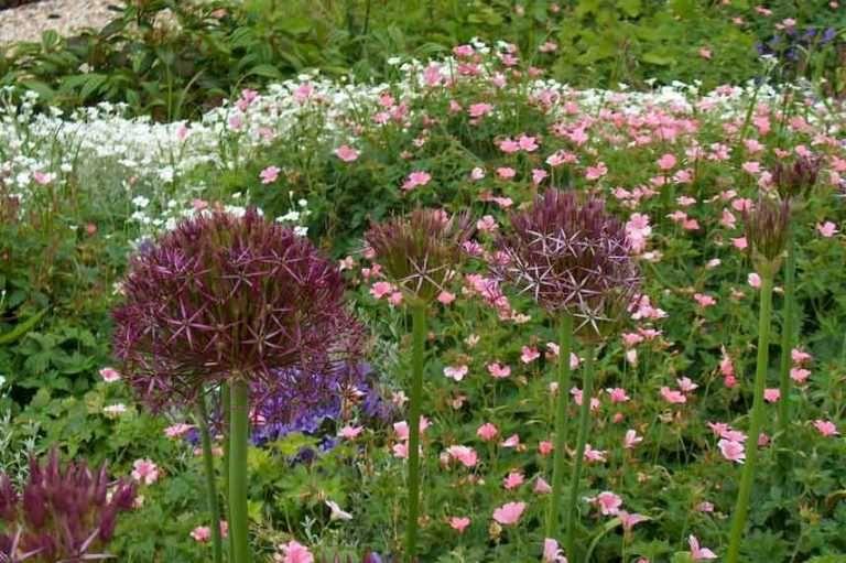 Allium: 9 idées d\'associations réussies | Ail d ornement, Decoration jardin, Promesses de fleurs
