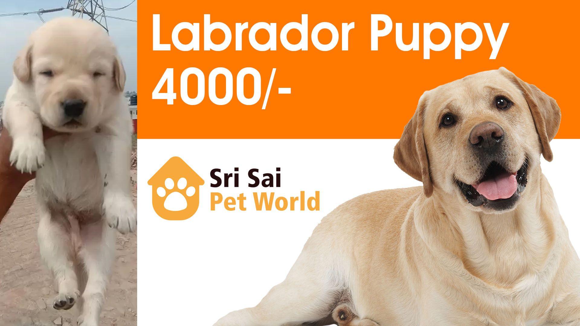 Buy labrador retriever puppy in chandigarh jalandhar