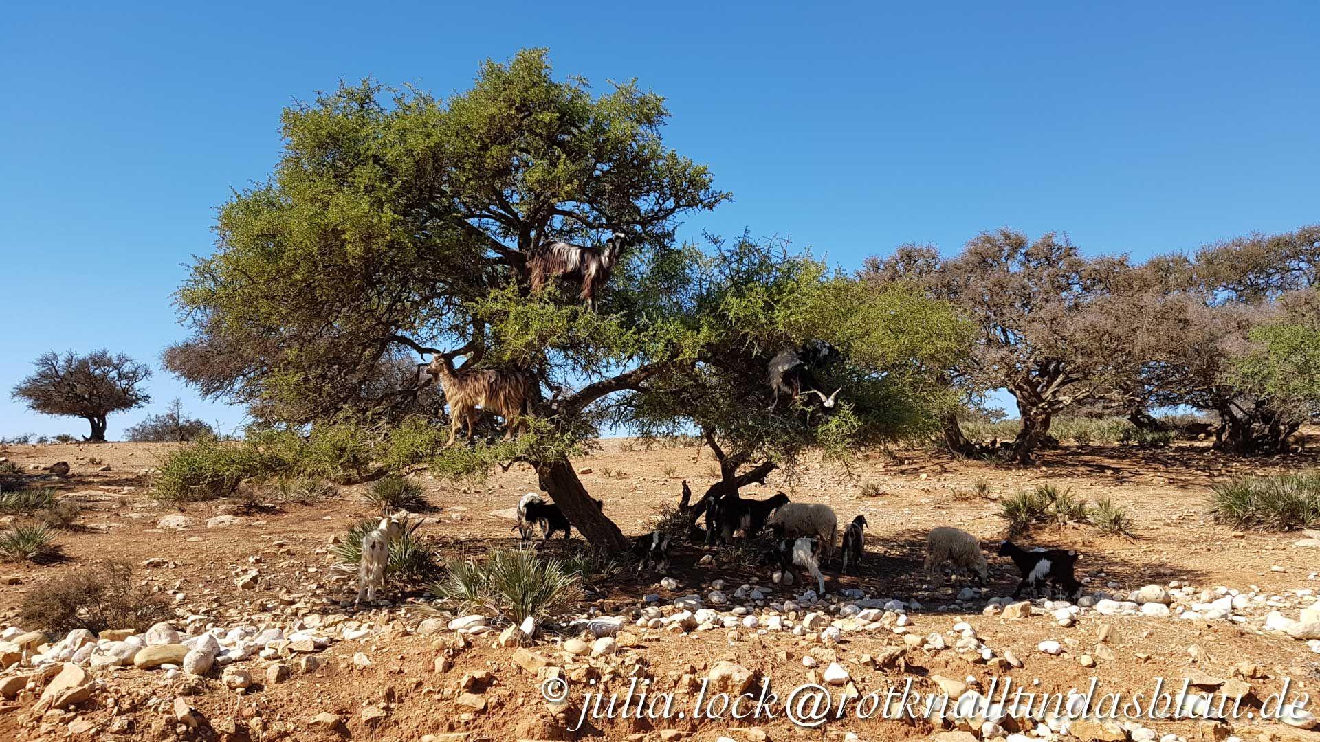 Vom Arganbaum in der Souss-Ebene in Marokko kommt nicht nur für das teuerste Öl der Welt, sondern hier findet auch ein einzigartiges Naturschauspiel statt.