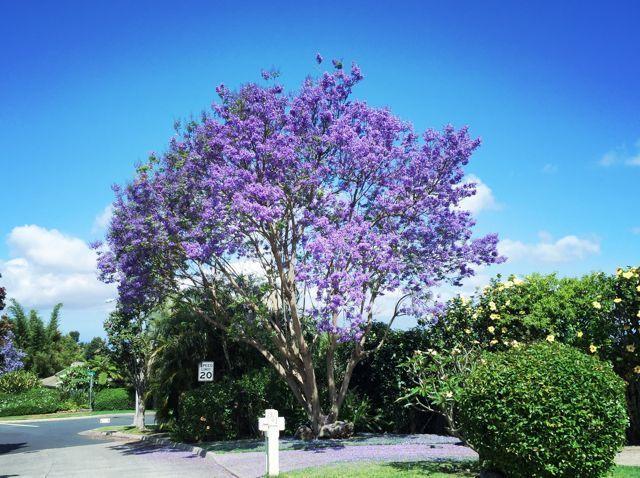 jacaranda tree blooming in kula maui hi trees pinterest kula
