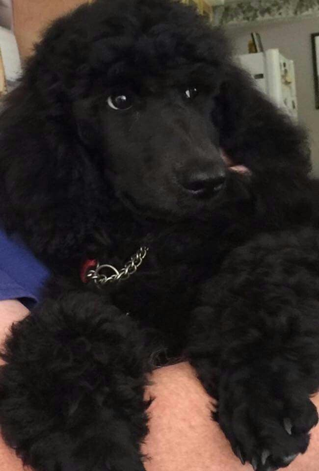 Pin By Erin Paul On Poodles Poodle Poodle Haircut Miniature Dogs