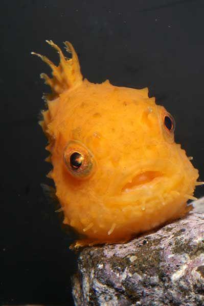 サービス終了のお知らせ ダンゴウオ かわいい魚 フウセンウオ