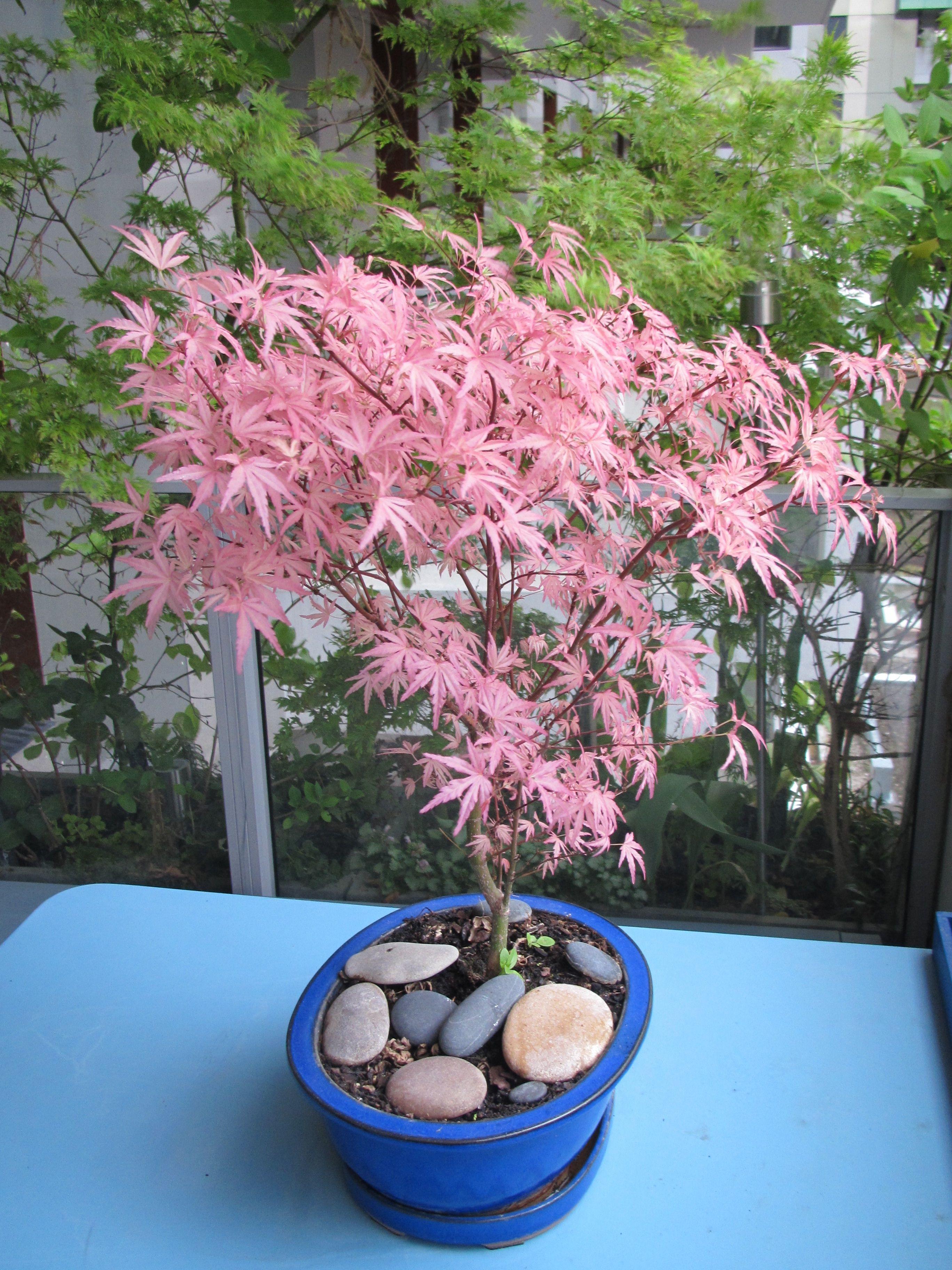 Bonza erable du japon 39 taylor 39 acer palmatum beautiful bonsai pinterest acer palmatum - Erable du japon acer palmatum ...