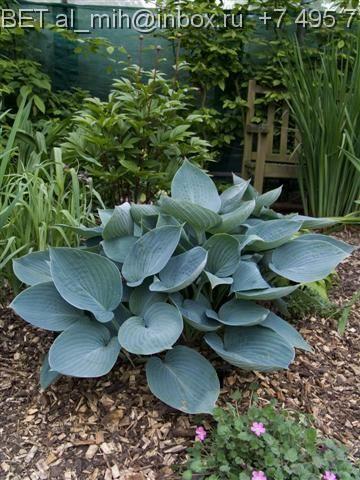 Hosta Moody Blues Shade Garden Plants Hostas Hosta Plants