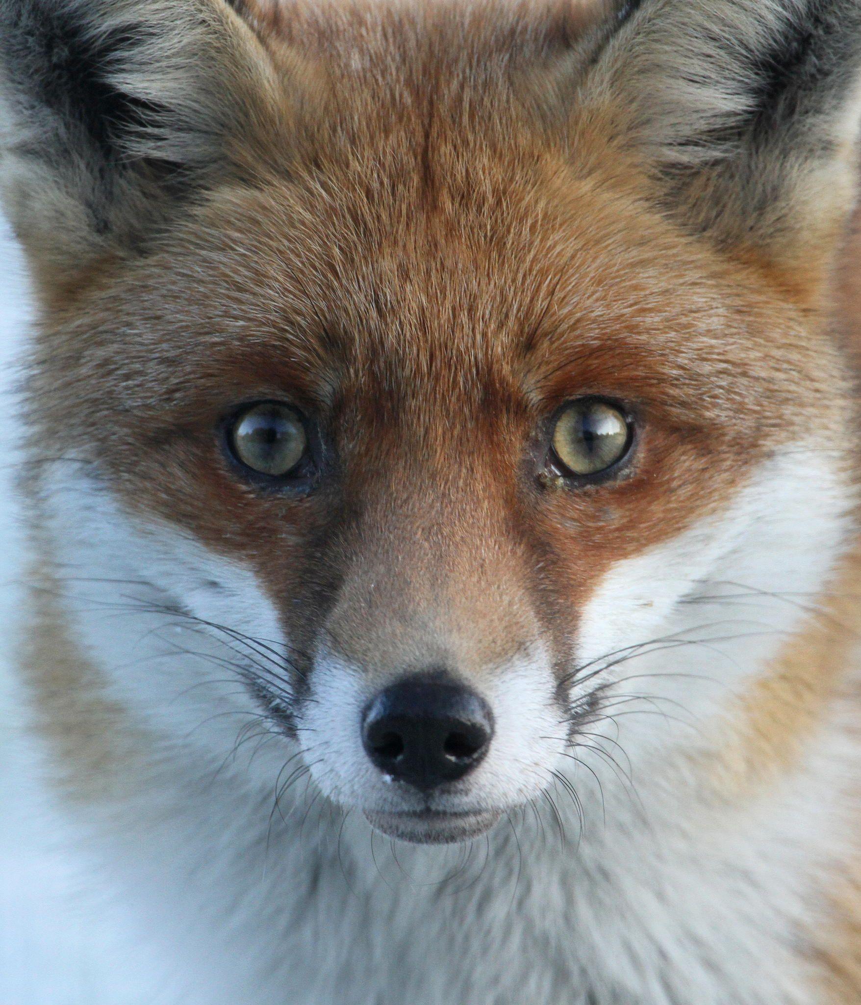 Fox-Face by Dan Belton on 500px
