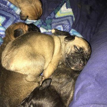 Litter Of 8 Cane Corso Puppies For Sale In Pueblo Co Adn 34326 On Puppyfinder Com Gender Male Age 5 Weeks O Cane Corso Cane Corso Puppies Puppies For Sale