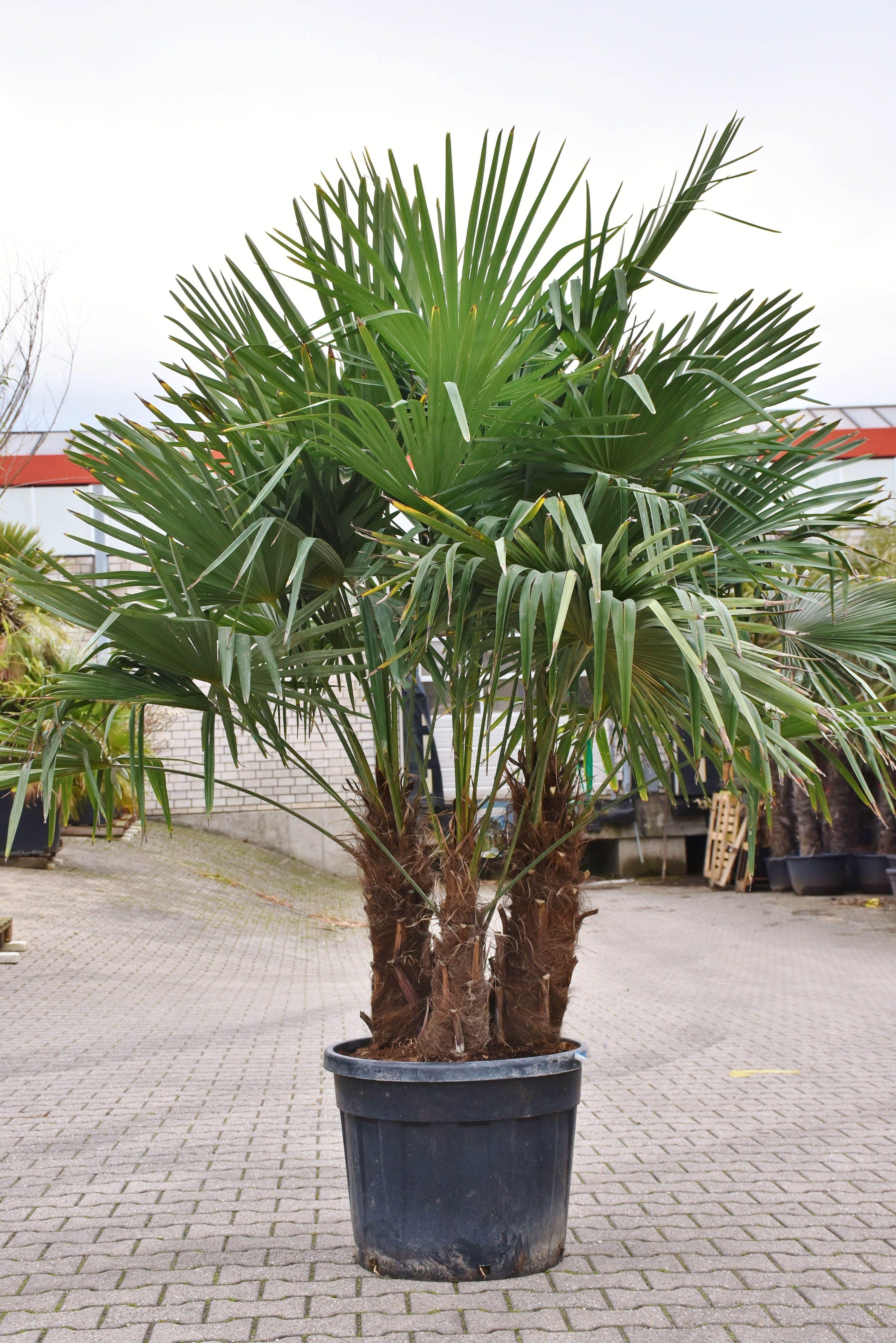 Hanfpalme Fortunei Winterhart Gruppe Gros Hanfpalme Als 3er Gruppe Lieferhohe Ca 2 30 2 40m Inkl Topf Mit Stammen Von Bi Hanfpalme Gartenkunst Pflanzen