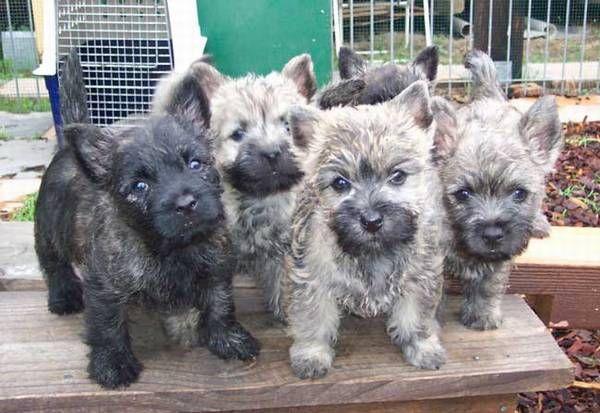 Cairn Babies Cairn Terrier Puppies Cairn Terrier Cairn Terrier Mix
