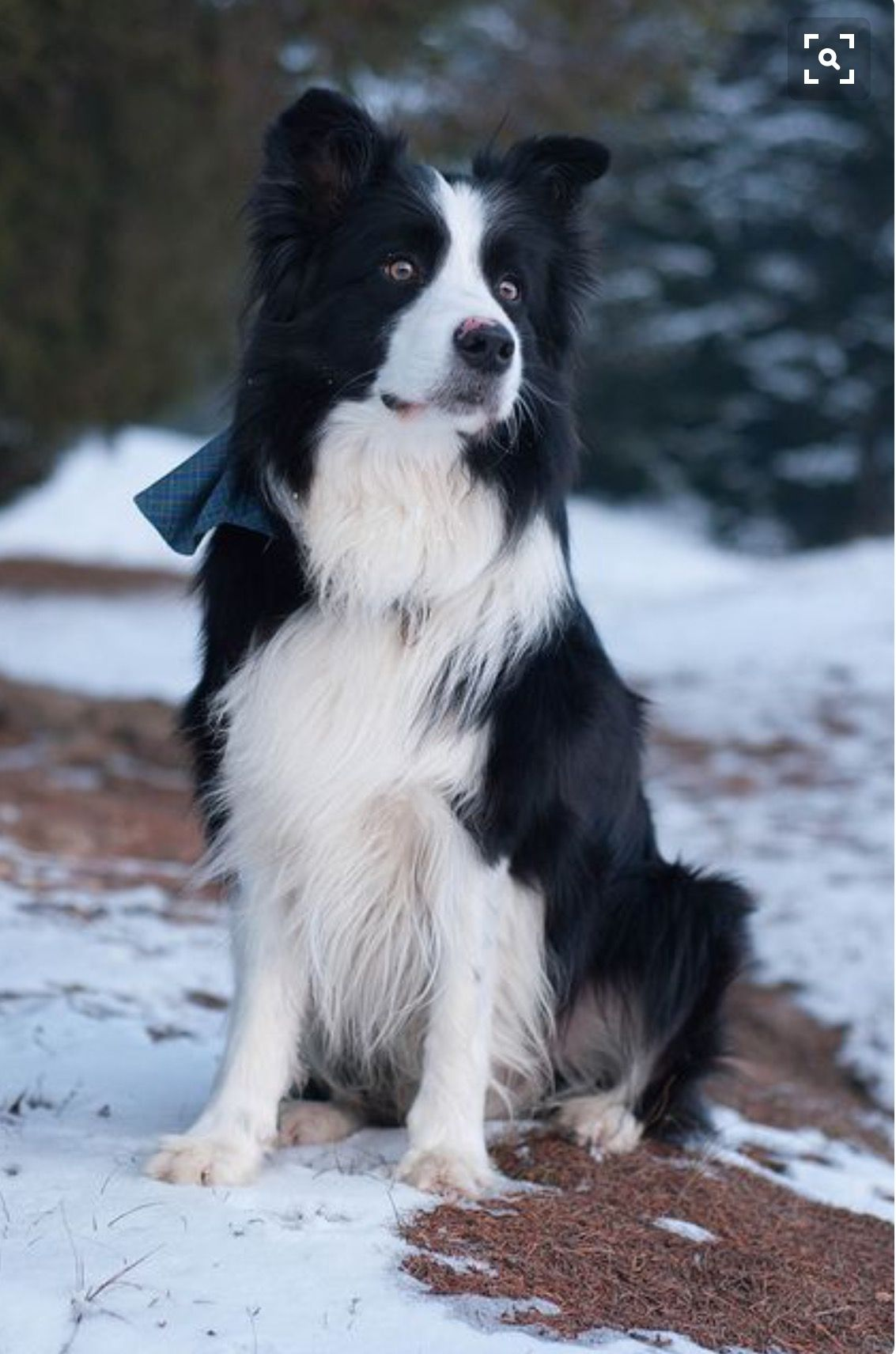 Pin By Jaydah Lopez On Cutie Babies Border Collie Puppies