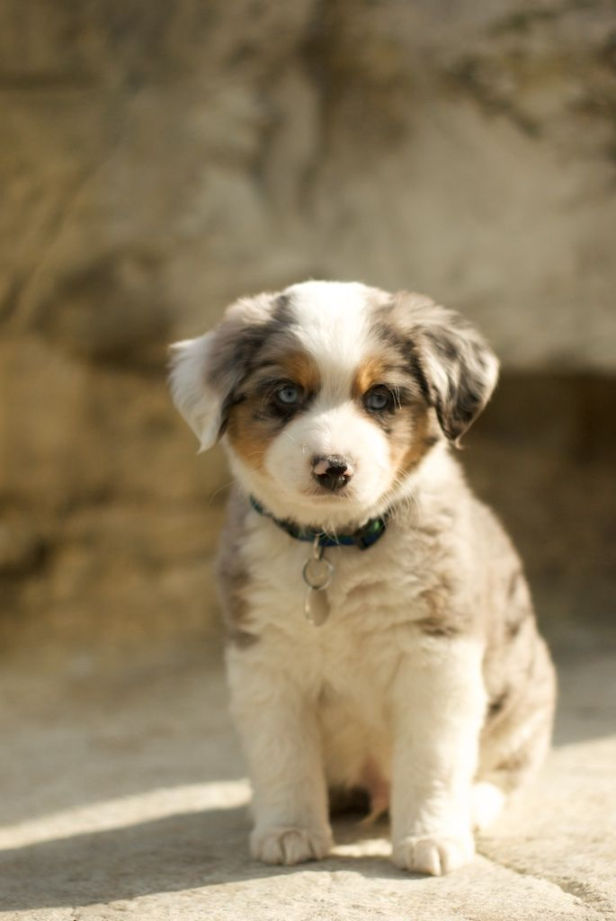 Australian Shepherd Blue Merle Like My Scout 3 He Was An Amazing Dog Cute Animals Puppies Animals Beautiful