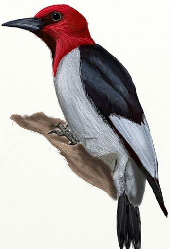 How To Draw A Woodpecker Step By