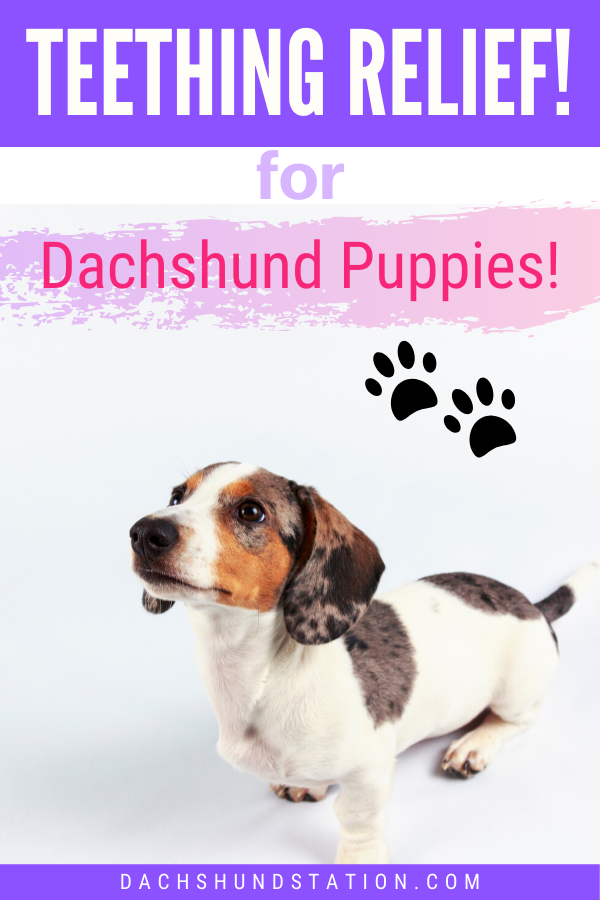 Full Easy Guide How To Survive Dachshund Puppy Teething Puppy Teething Dachshund Puppies Dachshund Puppy