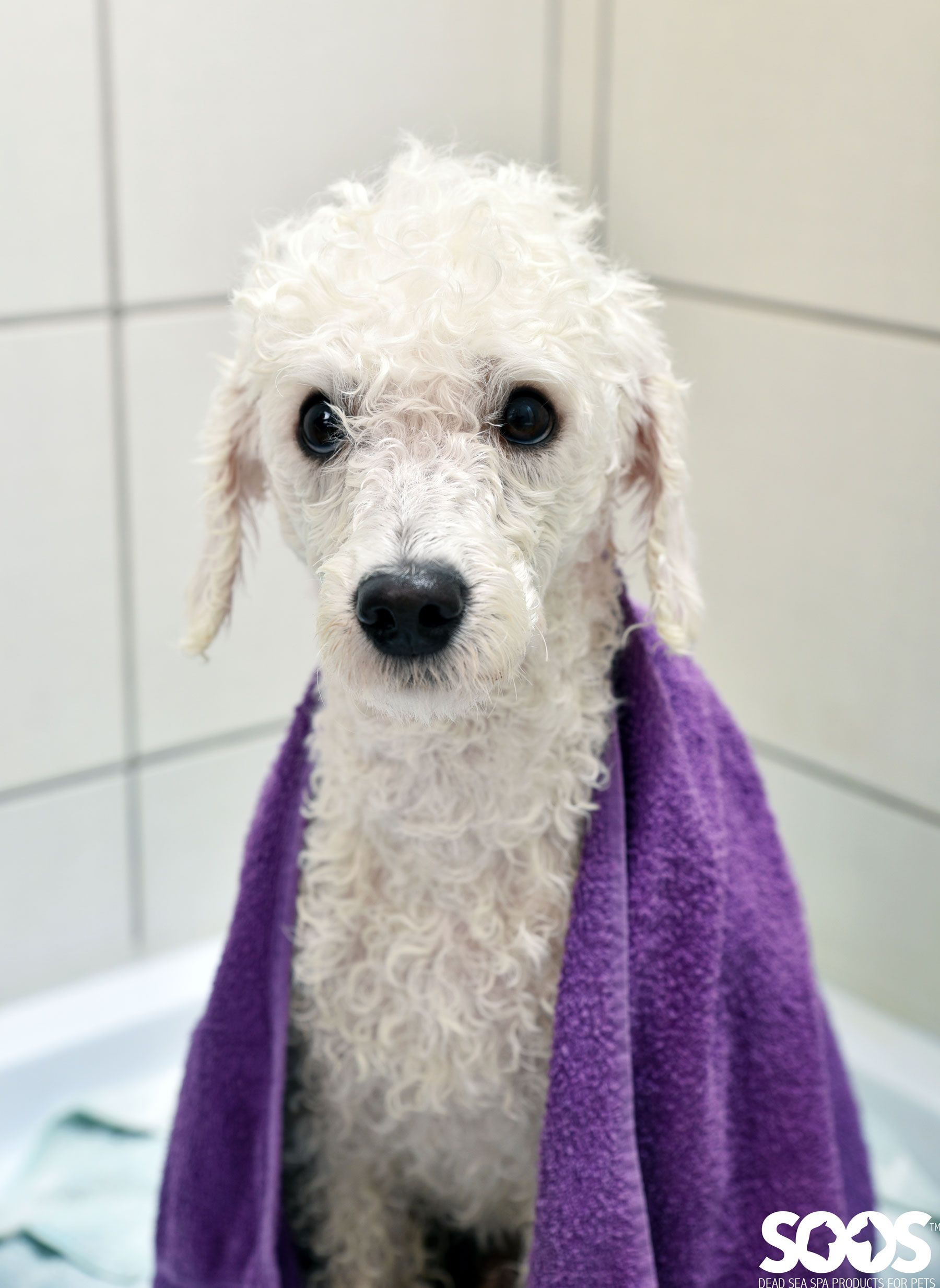Wet Poodle Wrapped In Purple Towel After Bath Dog Bath Natural