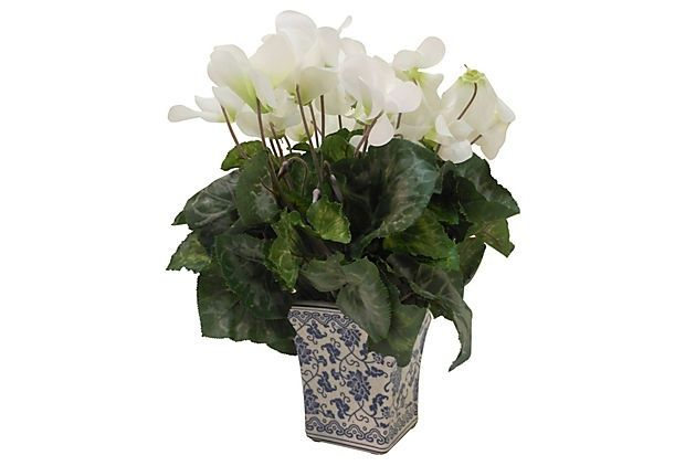 White Cyclamens in blue and white pots