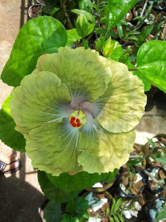 Is It Real Hibiscus Plant Patio Flowers Amazing Flowers