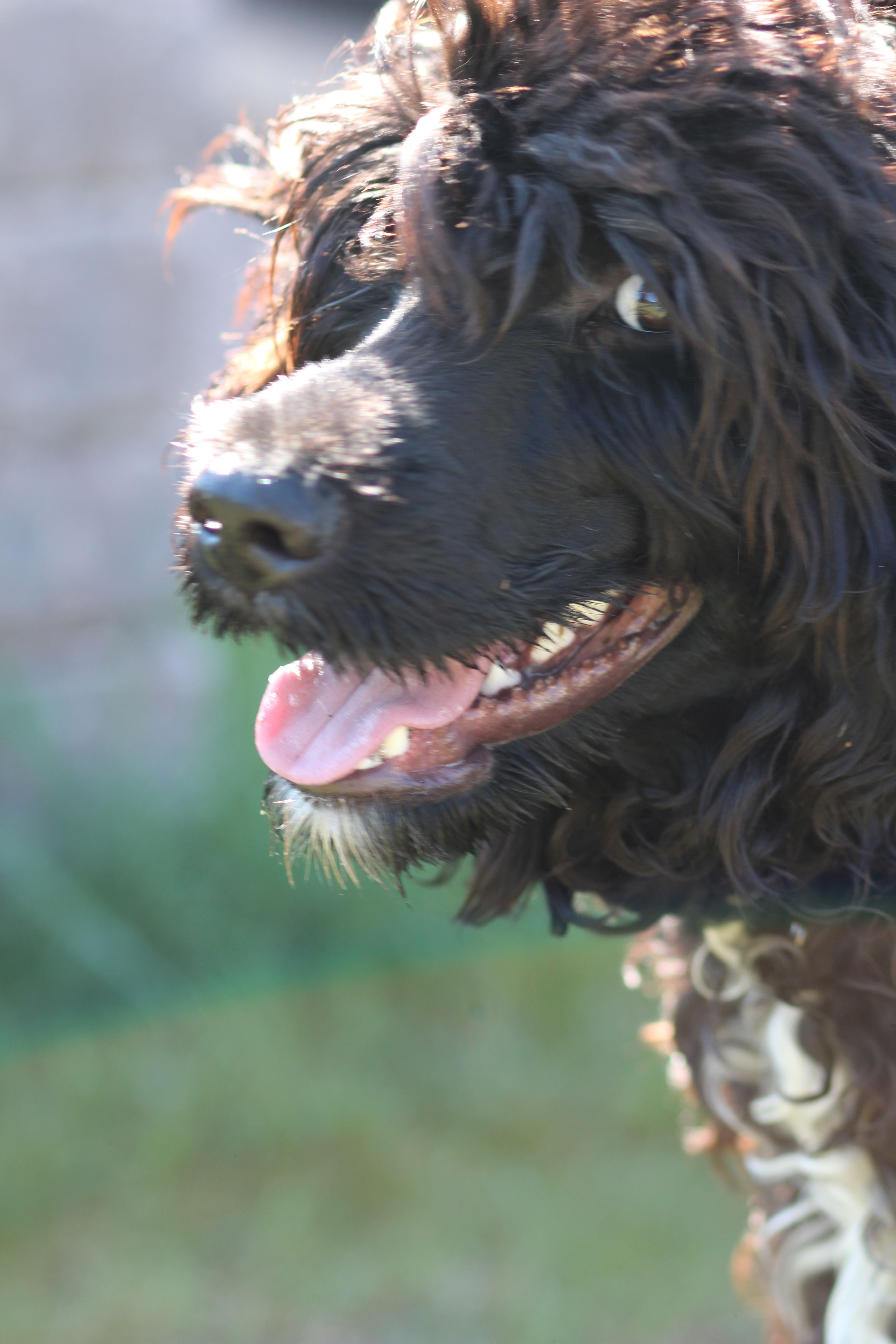Pin by on Portuguese Water Dog art portraits