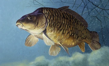 The Mythical Common Wildlife Artists Common Carp Fish Art