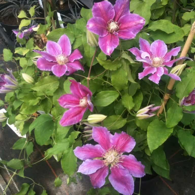 10 Of The Best Clematis For Shade Clematis For Shade Clematis Clematis Wilt