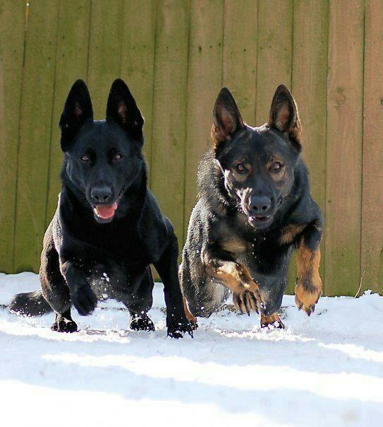 Two Working German Shepherd Dog Shepherd Animal German With