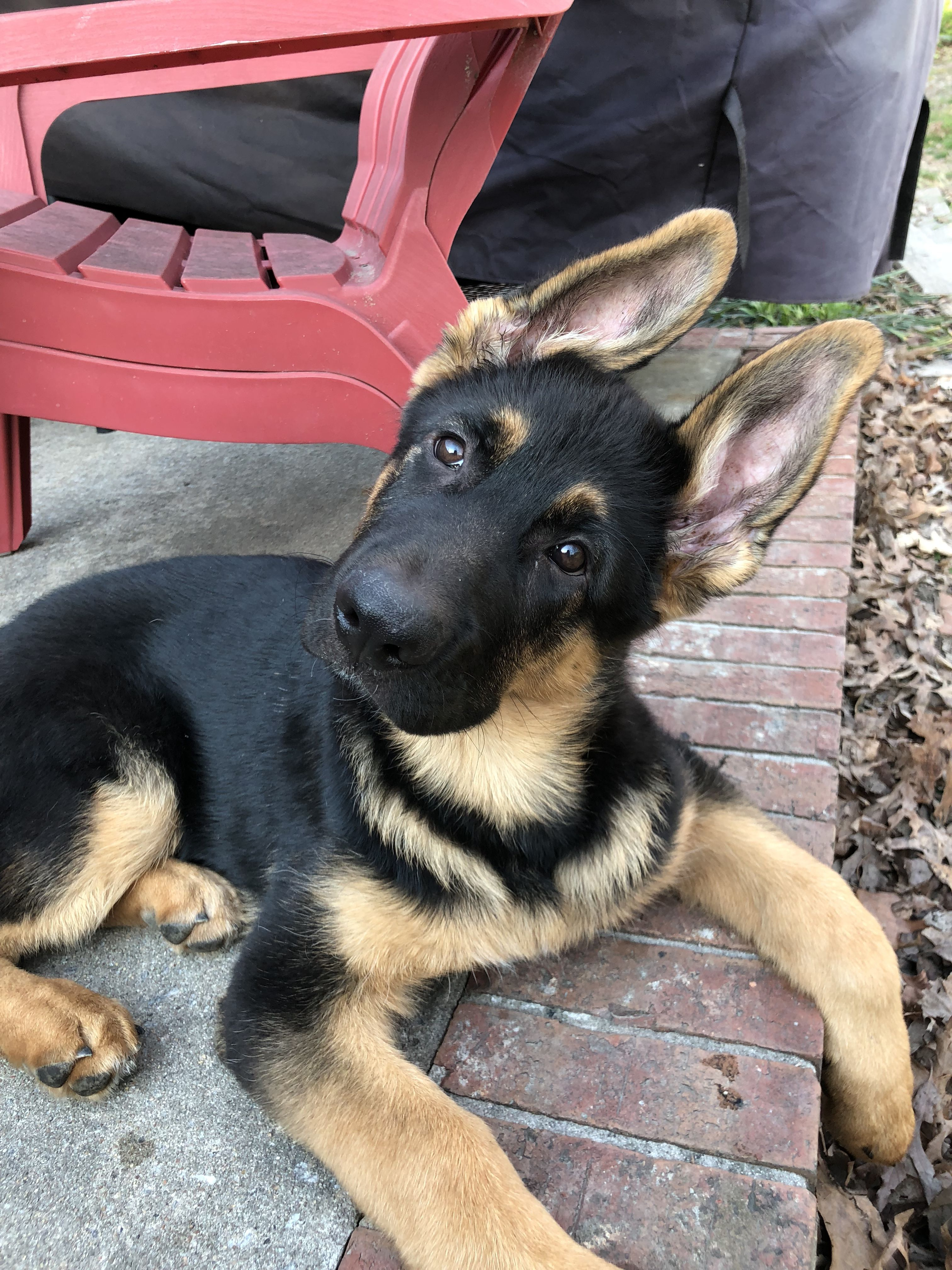 Gsd Puppy Dogs Cute Animals Puppies