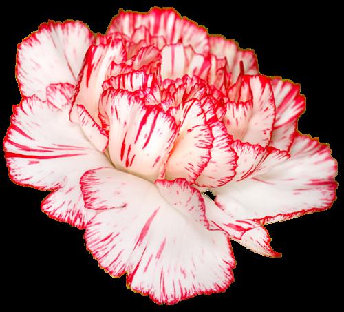 Transparent Flowers Carnation Dianthus Caryophyllus X Transparent Flowers Trendy Flowers Carnations