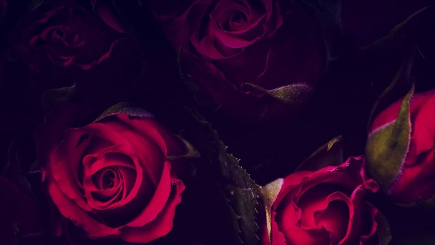 Red Roses In The Dark Flowers Qhd Wallpaper Hd Wallpapers