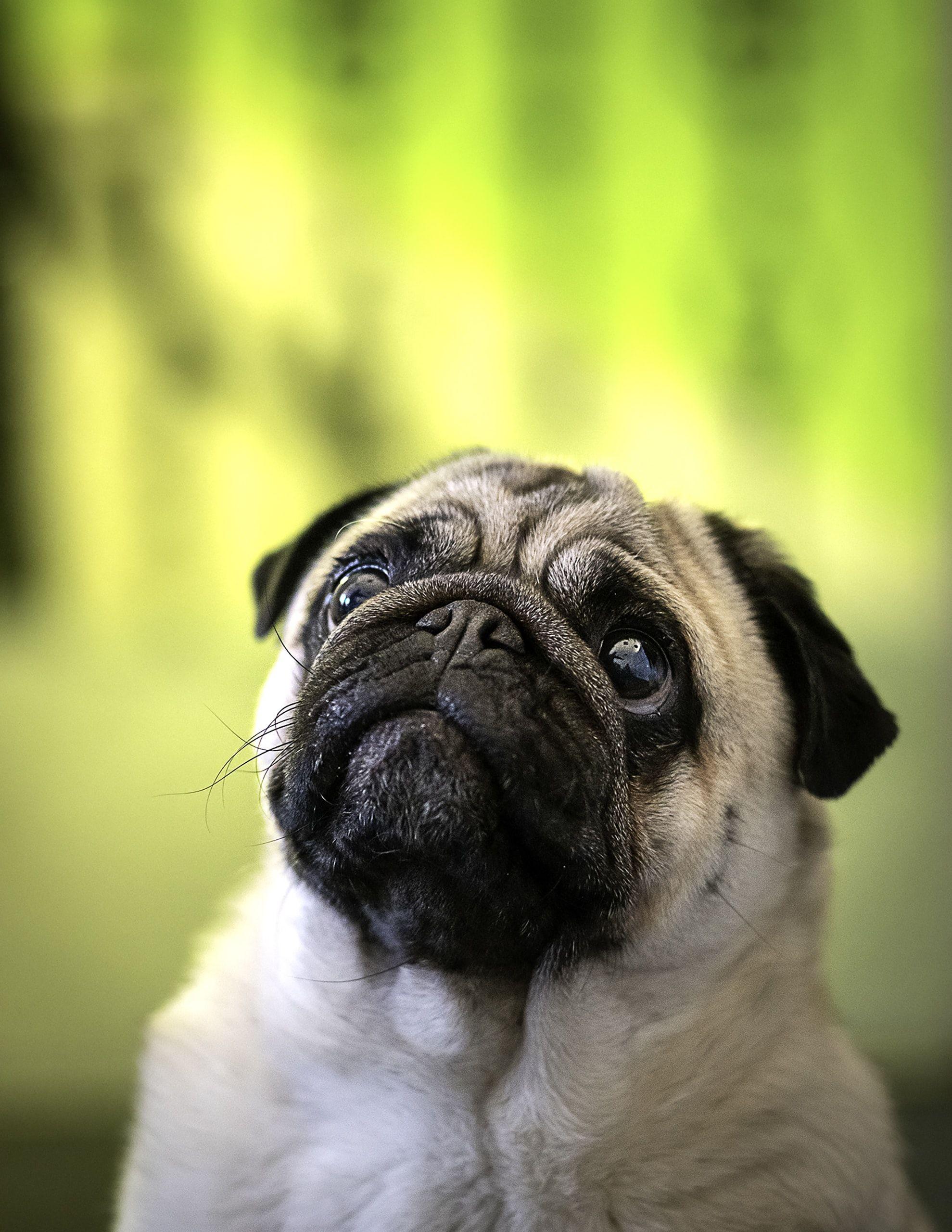 Animal Dog Pug Adult Fawn Pug Adult Fawn Pug Close Up Photo