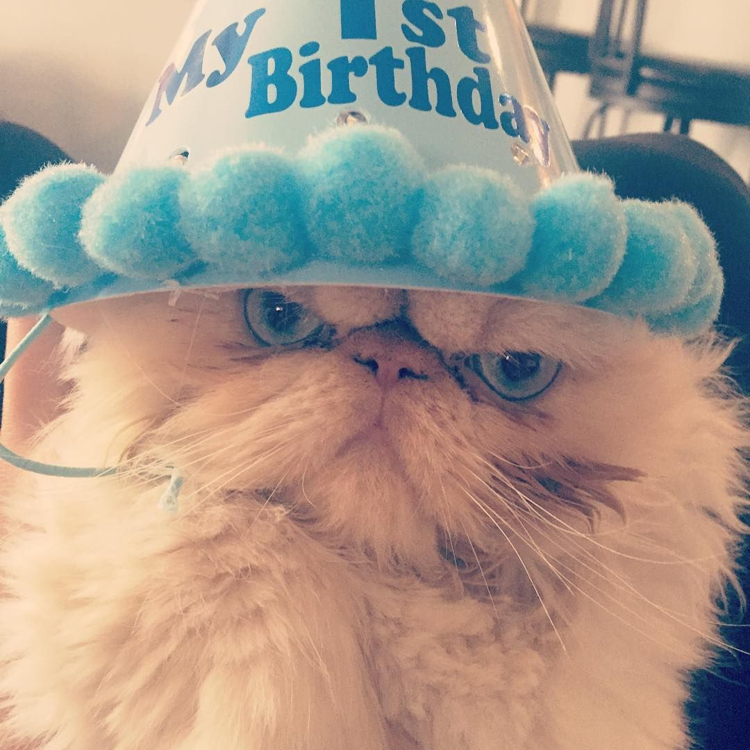 Who Made Him Angry On His 1st Birthday Animal Photography Kittens Persian Cat