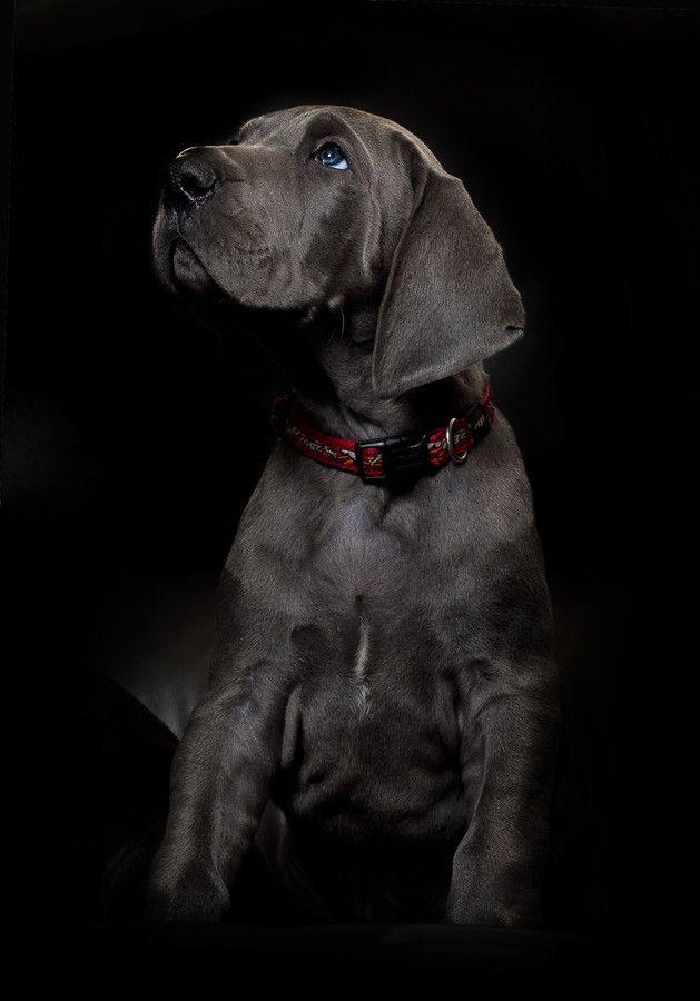 Photo Blue Eyes By Ben Robson On 500px Great Dane Puppy Dane