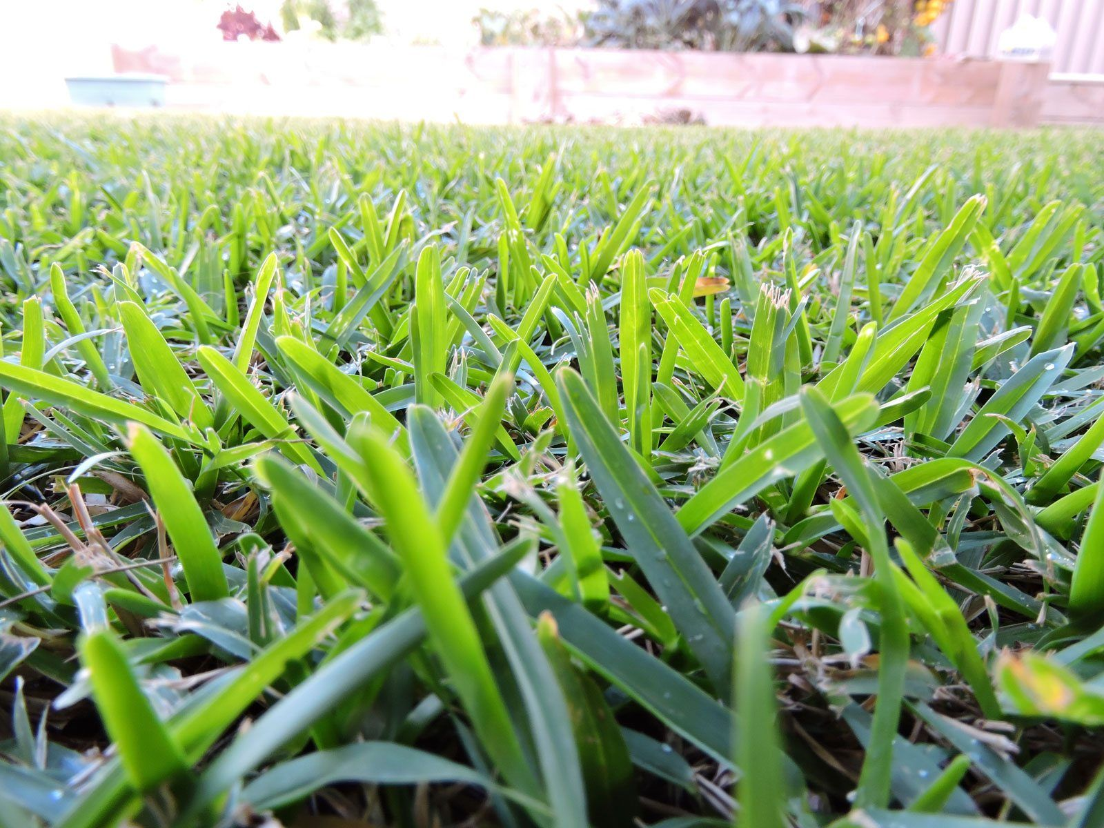 Drought tolerant lawn grass is there a drought tolerant