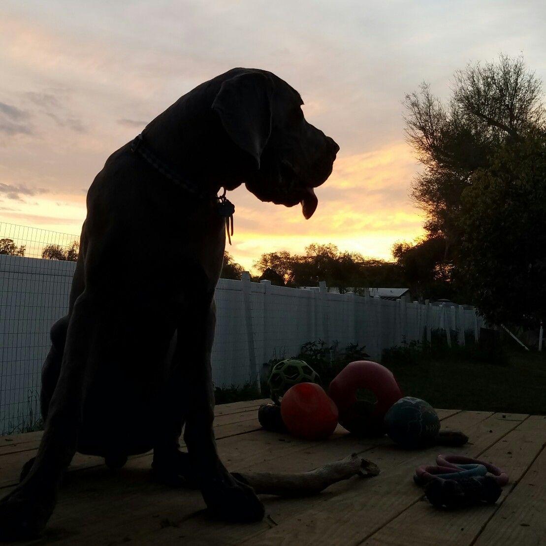 6 Months Old Blue Great Dane Puppy Fergus Beautiful Sunset