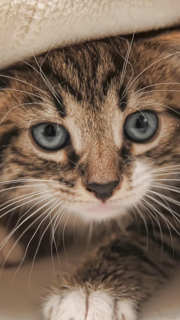 Iphone And Android Wallpapers Kitten Wallpaper For Iphone And Android Kitten Wallpaper Animals Cats