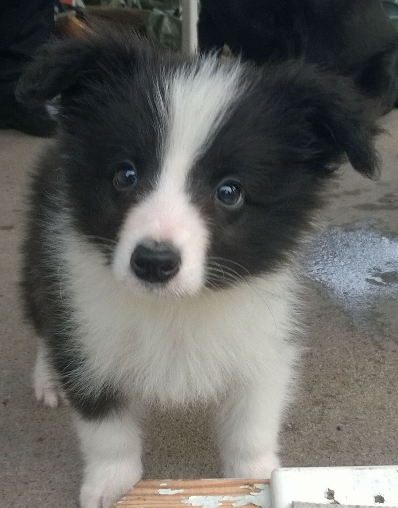 Ahhhhh With Images Border Collie Puppies Collie Puppies