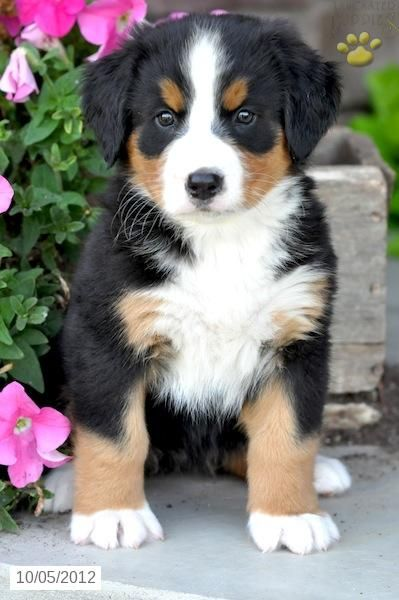 Bernese Mountain Dog Puppy - keep finding cute pics, can't stop pinning them.