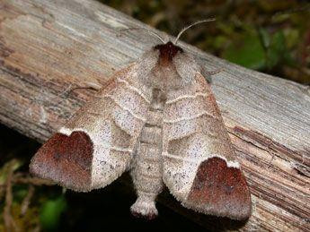Mariposa Clostera Curtula 虫 と 動物