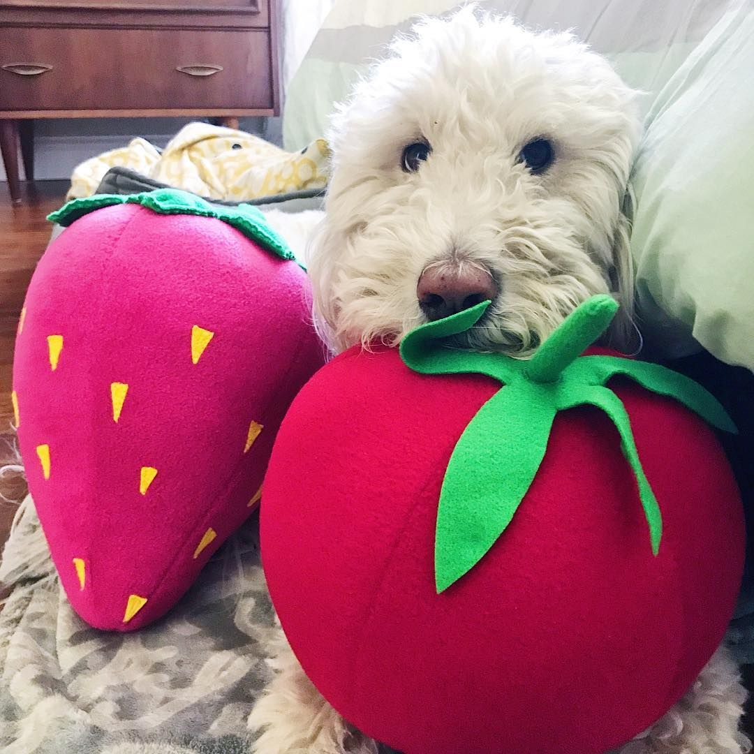 A Cute Pup With Some Very Very Big Foods Tomato And Strawberry
