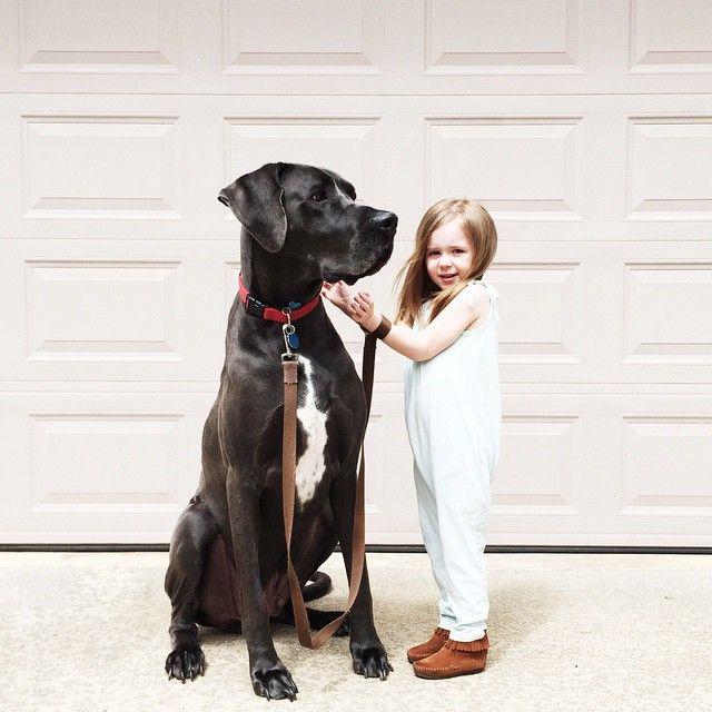 Themountainlaurel Sarah Pounds Big Dogs Dane Dog Great Dane Dogs