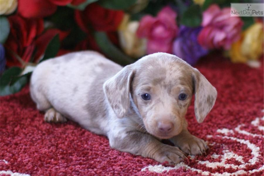 Meet Male A Cute Dachshund Mini Puppy For Sale For 1 250 Akc