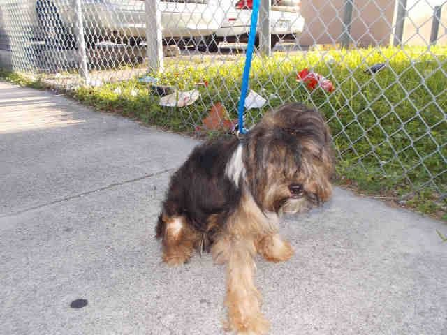 SAFE --- LUCKY (A1635457) I am a male tricolor Terrier mix.  The shelter staff think I am about 7 months old.  I was found as a stray and I may be available for adoption on 08/18/2014. — hier: Miami Dade County Animal Services. https://www.facebook.com/urgentdogsofmiami/photos/pb.191859757515102.-2207520000.1408059263./823560587678346/?type=3&theater