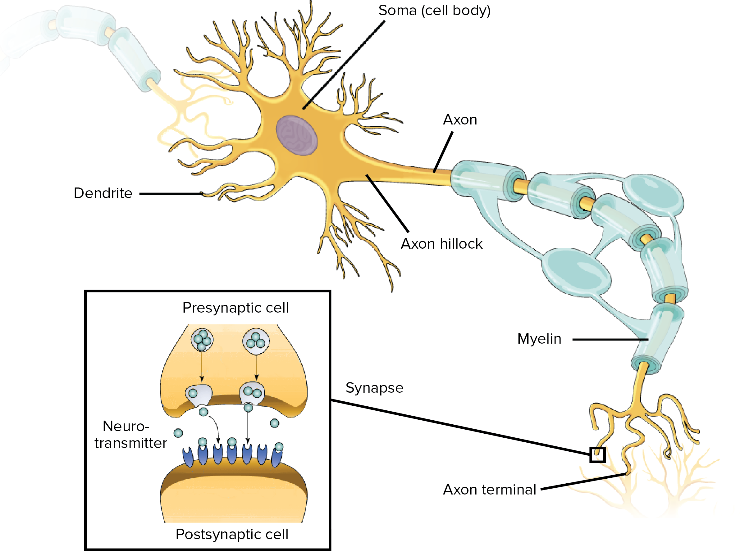 3 overview of neuron structure and function article khan 3 overview of neuron structure and function article khan academy ccuart Images