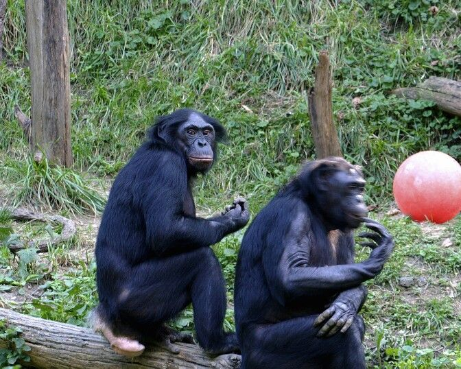 PLACE DE BONOBOS, Kinshasa.  Many visitors from other countries come to visit this place .I was pleased to be there too. Bonobos are great animals acting like humans sometime. Being there was beneficial for my knowledge and I observed them a lot. It is beneficial when you see face to face things teachers teach us from school. It is always be a huge experience as it was for me too.