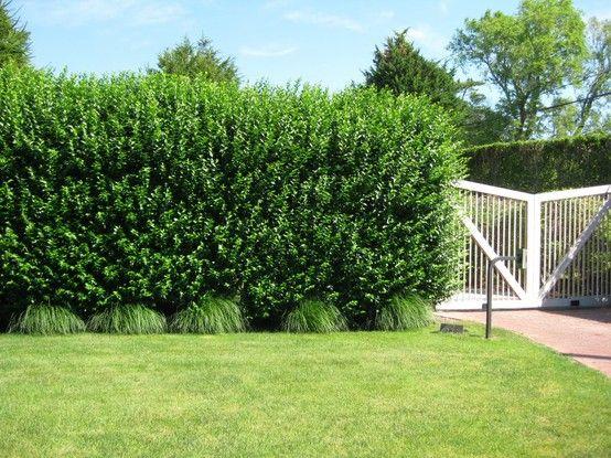 Privet Hedge Hedges Backyard Landscaping Privacy
