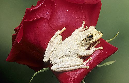 Cuban white tree frog Florida NATURE Pinterest Tree frogs - fresh coloring pages tree frog