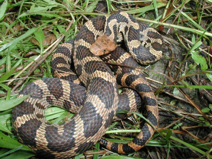 Snakes Mistaken for Copperheads | Snakes (Elaphe gloydi ...